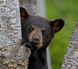 270x240 Bear Cub -credit Alamy