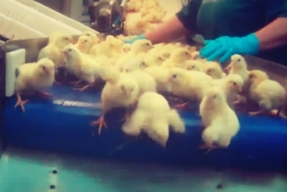 Chicks on belt