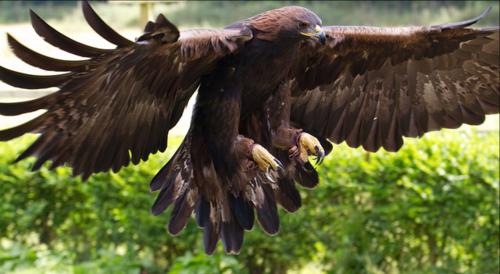 Golden Eagle Tony Hisgett Flickr
