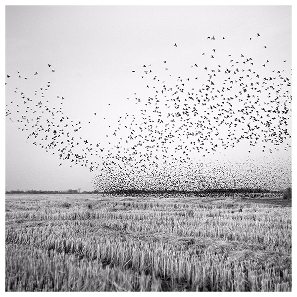 MARTINEZ Birds in Field by Brandon Thibodeaux
