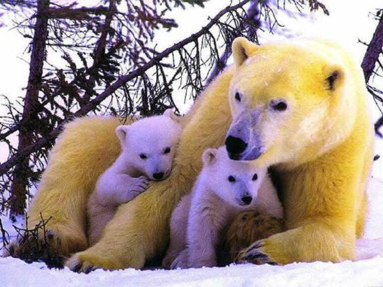 Familia_osos_polares