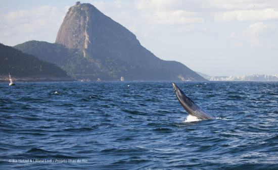 Filhote baleia de bryde salto pao de acucar BIA HETZEL2 menor