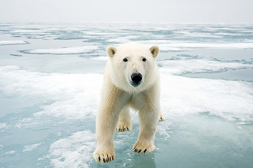Blog-intl-polar-bear2-500w