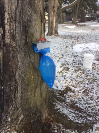 Photo by Jay Havens Maple Sap 2