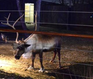 Santa's reindeer - Columbus Zoo
