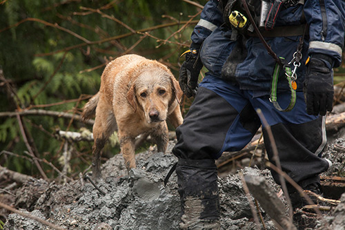 Mudslide-rescue-dog2-500w