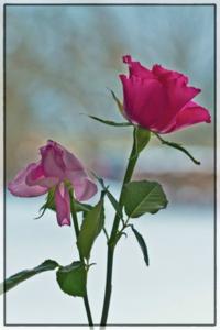 BeFunky_roses-96275_1280.jpg